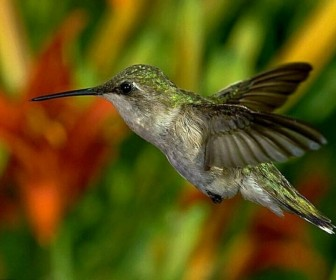 Humming Bird Close Up Wallpaper