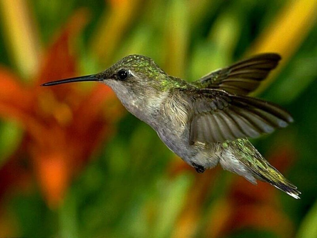 Humming Bird Close Up Wallpaper 1024x768