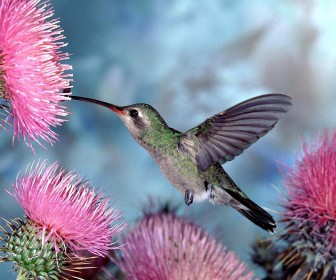 Humming Bird Pink Flower Wallpaper