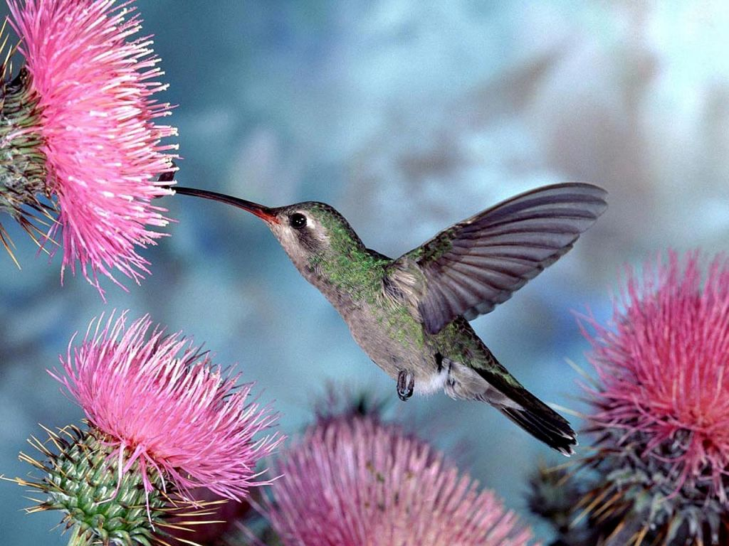 Humming Bird Pink Flower Wallpaper 1024x768