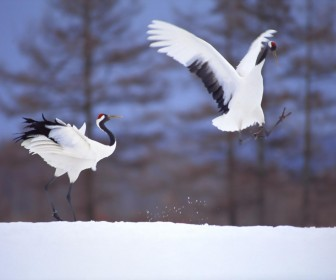 Japanese Crane On Snow Wallpaper