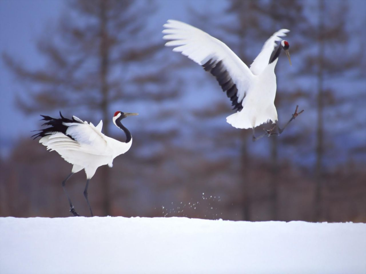 Japanese Crane On Snow Wallpaper 1280x960