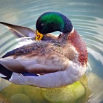 Mallard Duck On Rocks Wallpaper