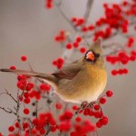 Norhtern Cardinal Red Berries Wallpaper