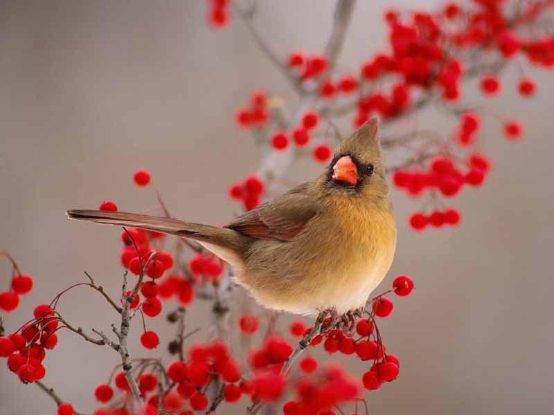 Norhtern Cardinal Red Berries Wallpaper 800x600