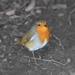 Orange Breasted Robin Bird Wallpaper