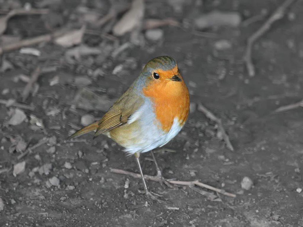 Orange Breasted Robin Bird Wallpaper 1024x768