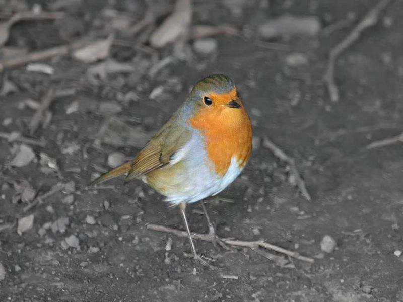 Orange Breasted Robin Bird Wallpaper 800x600