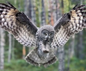 Owl In Flight Forest Wallpaper