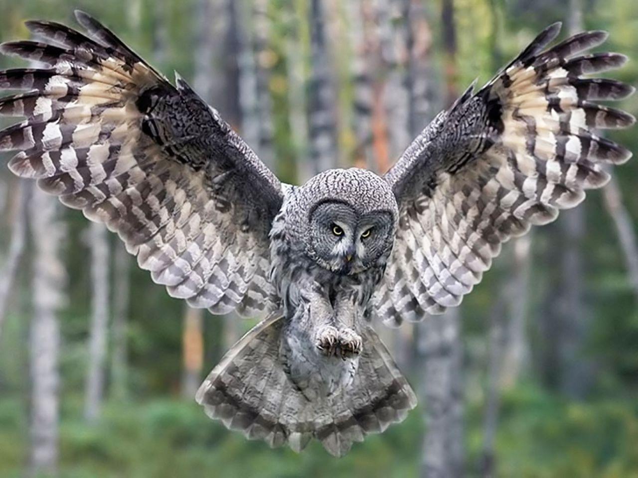Owl In Flight Forest Wallpaper 1280x960