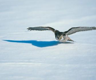 Owl In Flight Snow Wallpaper