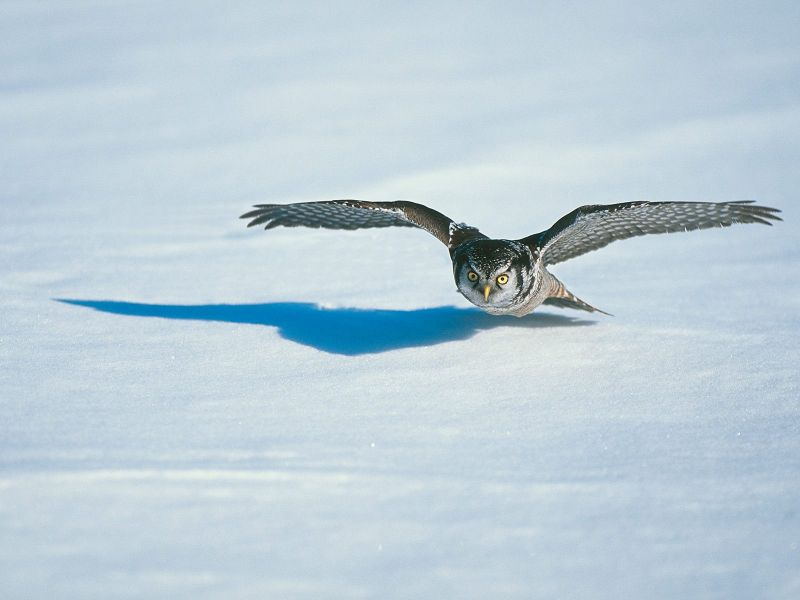 Owl In Flight Snow Wallpaper 800x600