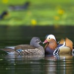Pair Of Mandarin Ducks In The Water Wallpaper