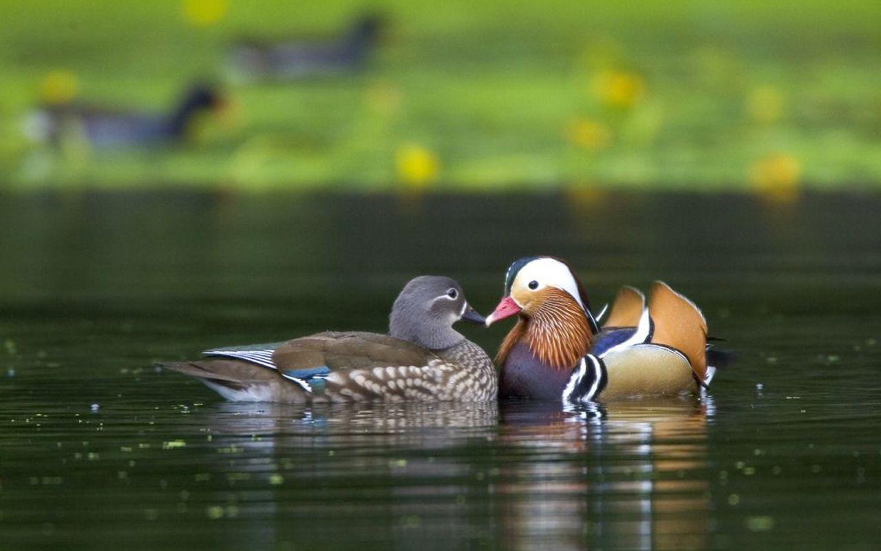 Pair Of Mandarin Ducks In The Water Wallpaper 1280x800