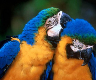 Pair Of Parrots Cleaning Feathers Wallpaper
