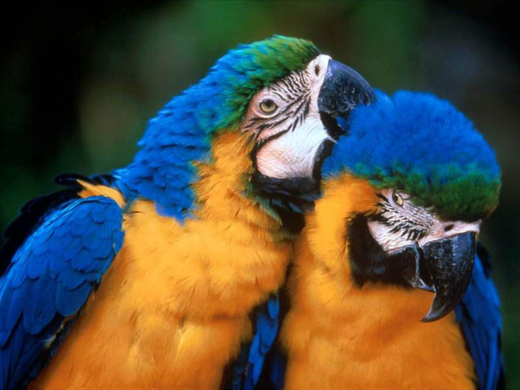 Pair Of Parrots Cleaning Feathers Wallpaper 1024x768