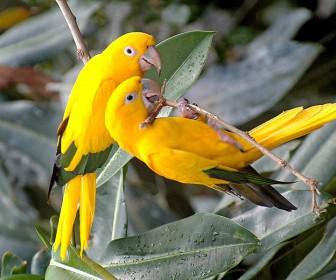 Pair Of Yellow Lovebirds On Branch Wallpaper