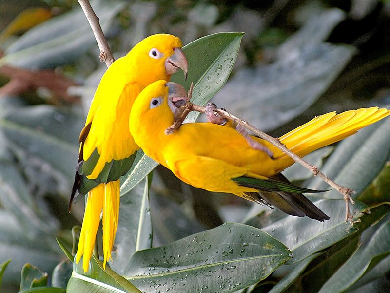 Pair Of Yellow Lovebirds On Branch Wallpaper 800x600