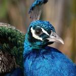 Peacock Close Up Portrait Wallpaper