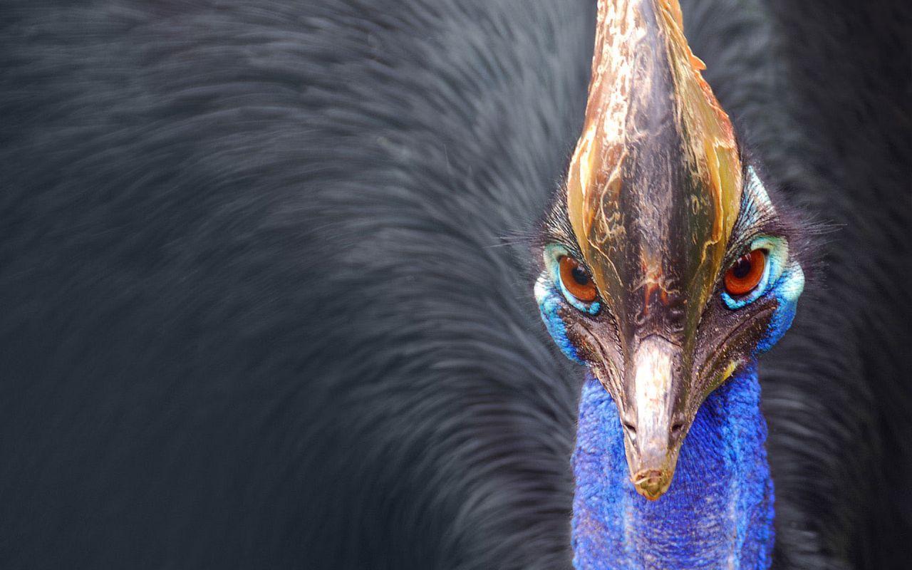 Peacock Front Close Up Portrait Wallpaper 1280x800