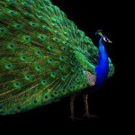 Peacock Tail Open Black Background Wallpaper