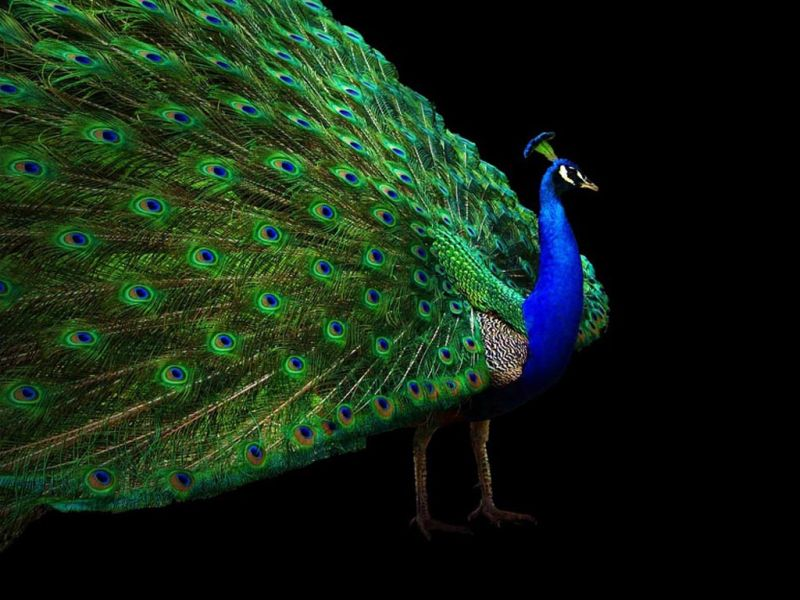 Peacock Tail Open Black Background Wallpaper 800x600