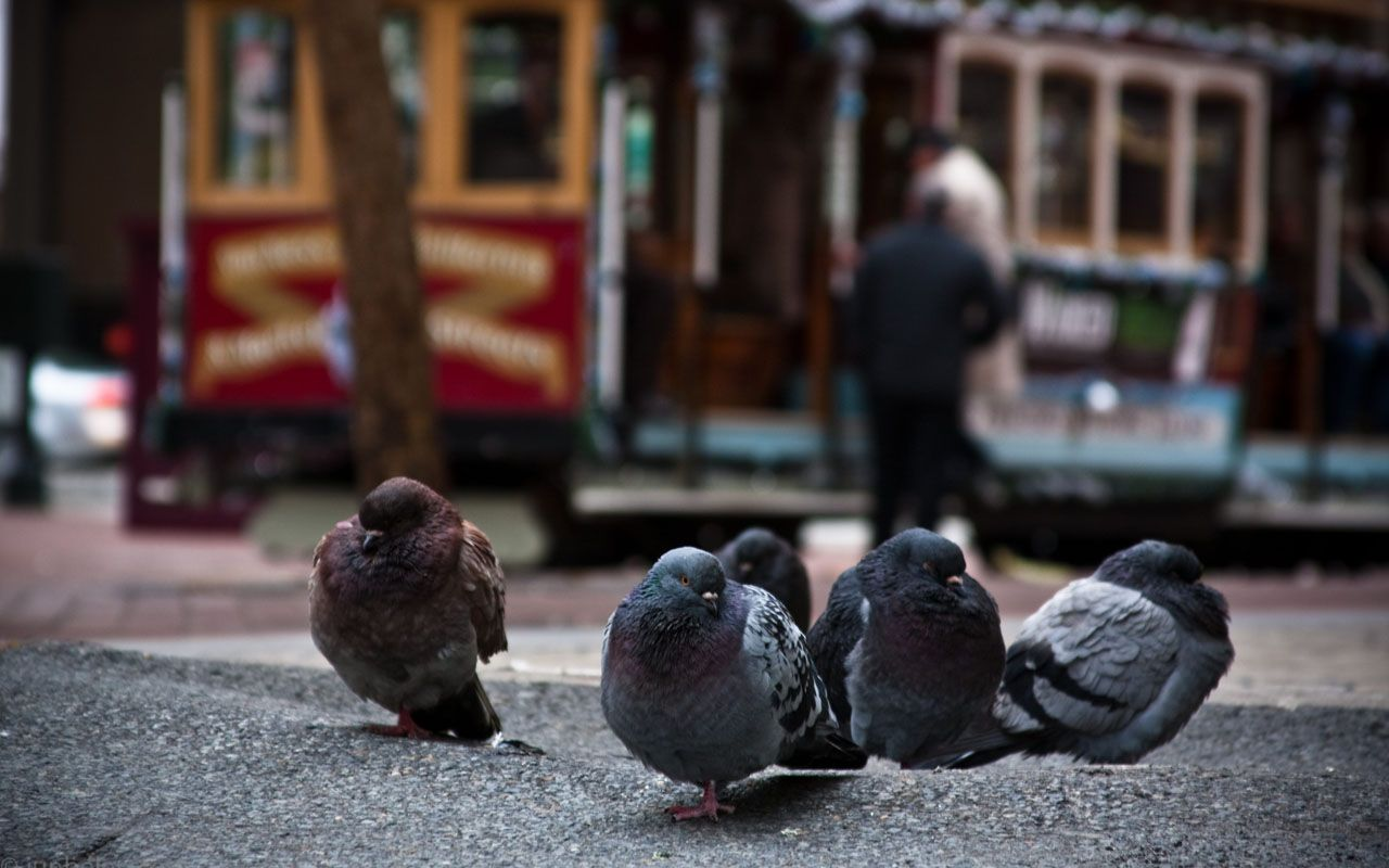 Pigeons Cable Car Background Wallpaper 1280x800