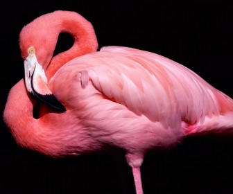 Pink Flamingo Close Up Portrait Wallpaper