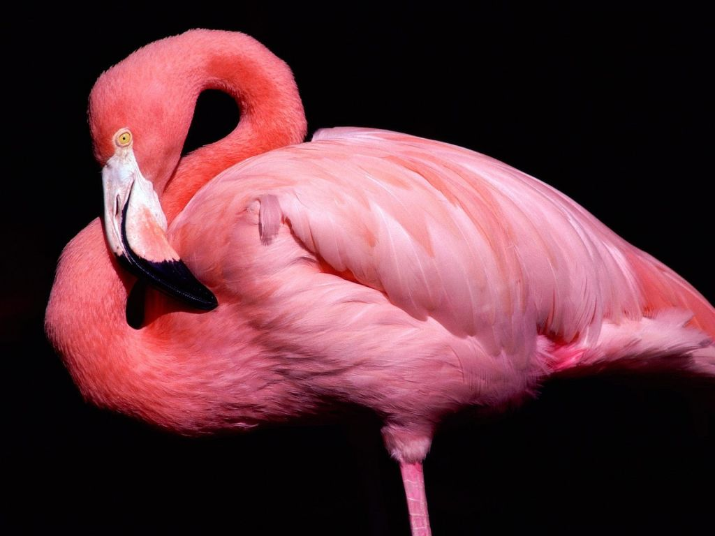 Pink Flamingo Close Up Portrait Wallpaper 1024x768