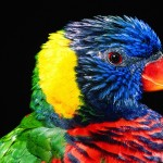 Rainbow Lorikeet Close Up Wallpaper