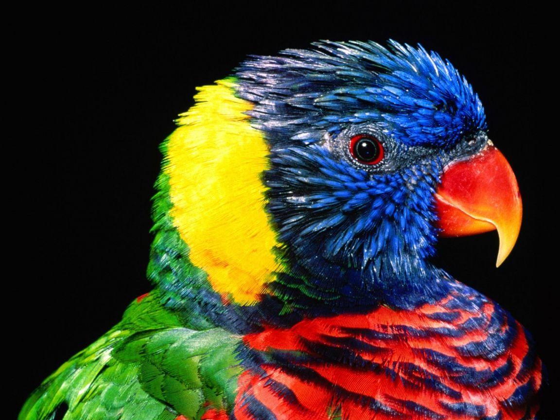 Rainbow Lorikeet Close Up Wallpaper 1152x864
