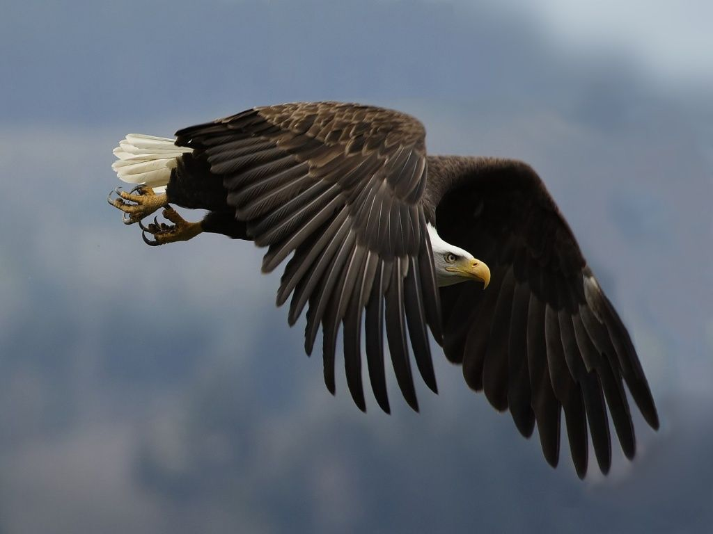 Raptor In Flight Wallpaper 1024x768
