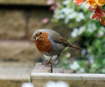 Red Breast Robin Close Up Wallpaper