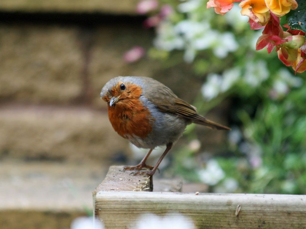 Red Breast Robin Close Up Wallpaper 1024x768