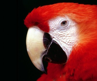Red Macaw Face Close Up Wallpaper
