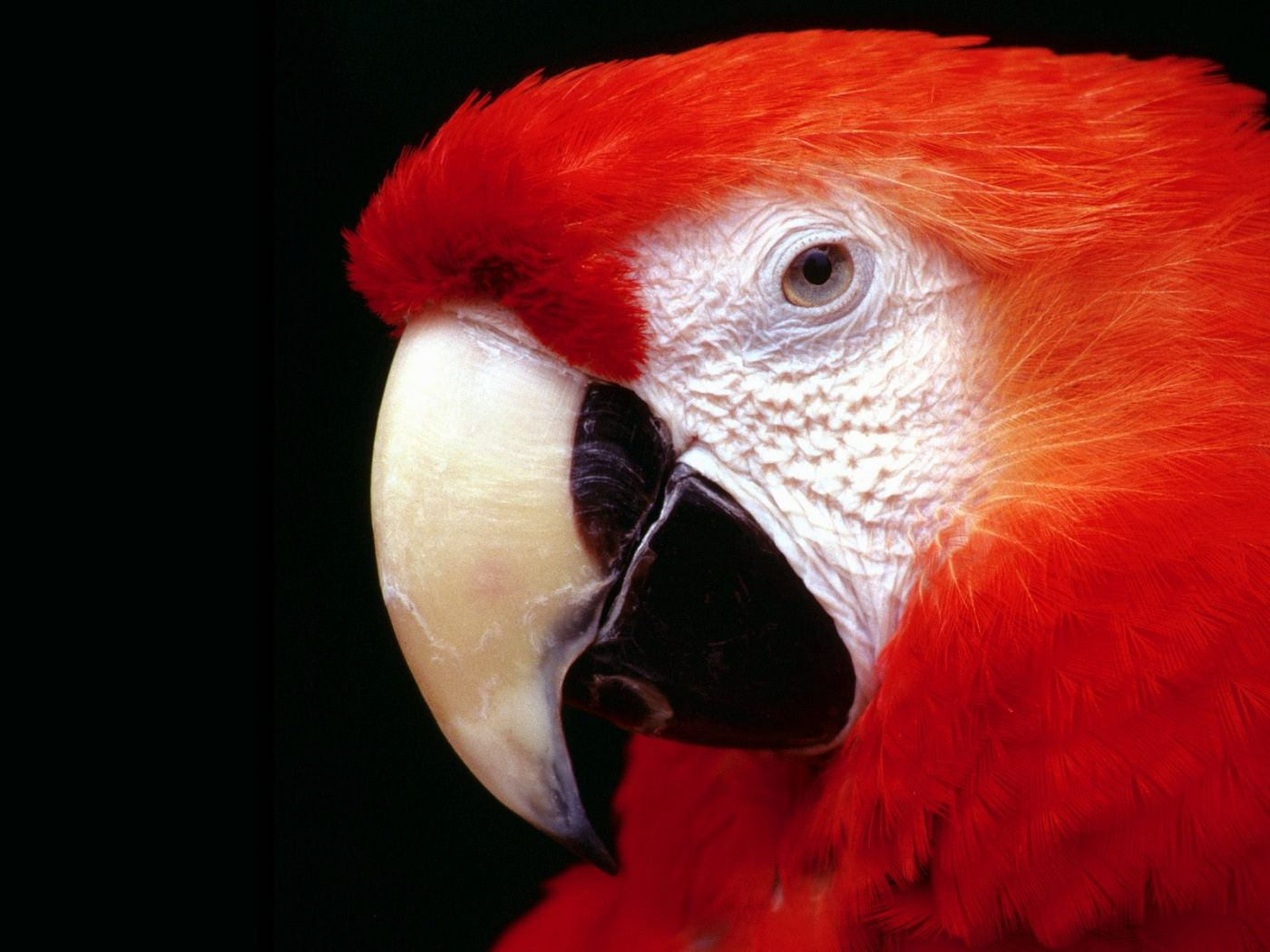 Red Macaw Face Close Up Wallpaper 1400x1050