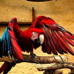 Red Parrot Wings Spread Wallpaper