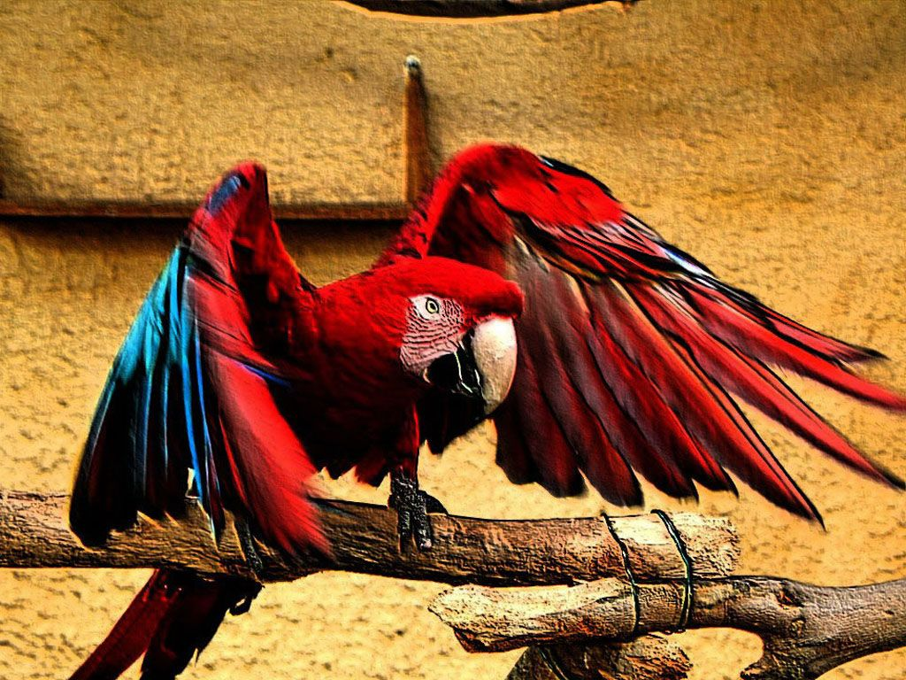 Red Parrot Wings Spread Wallpaper 1024x768
