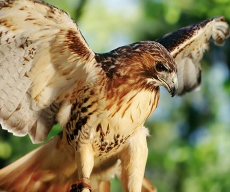 Red Tail Hawk Close Up Wallpaper
