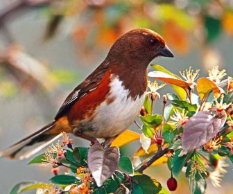 Rufous Sided Towhee Flowers Wallpaper