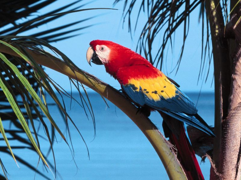 Scarlet Macaw On Branch Wallpaper 800x600