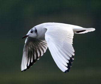 Seagull Flying Close Up Wallpaper