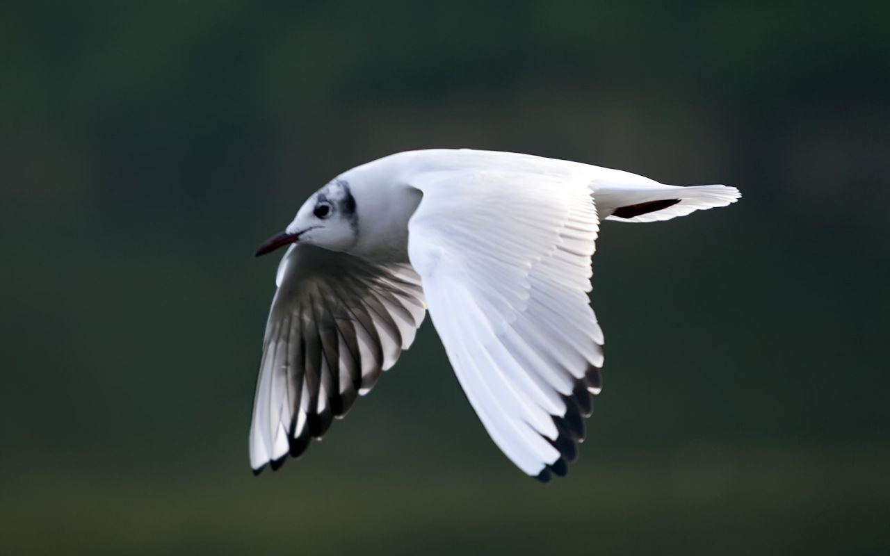 Seagull Flying Close Up Wallpaper 1280x800