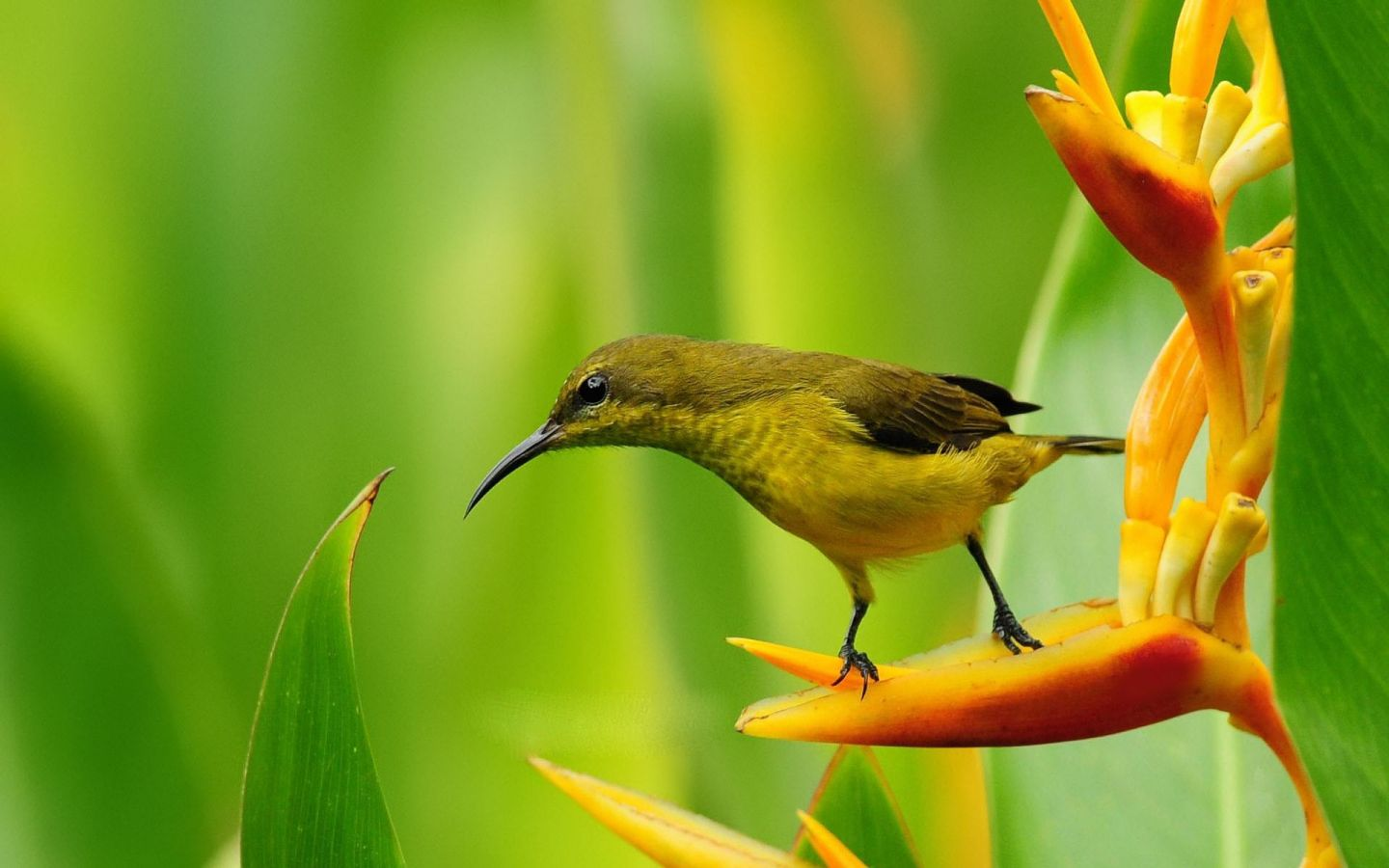 Small bird on bird of paradise flower wallpaper 1440×900