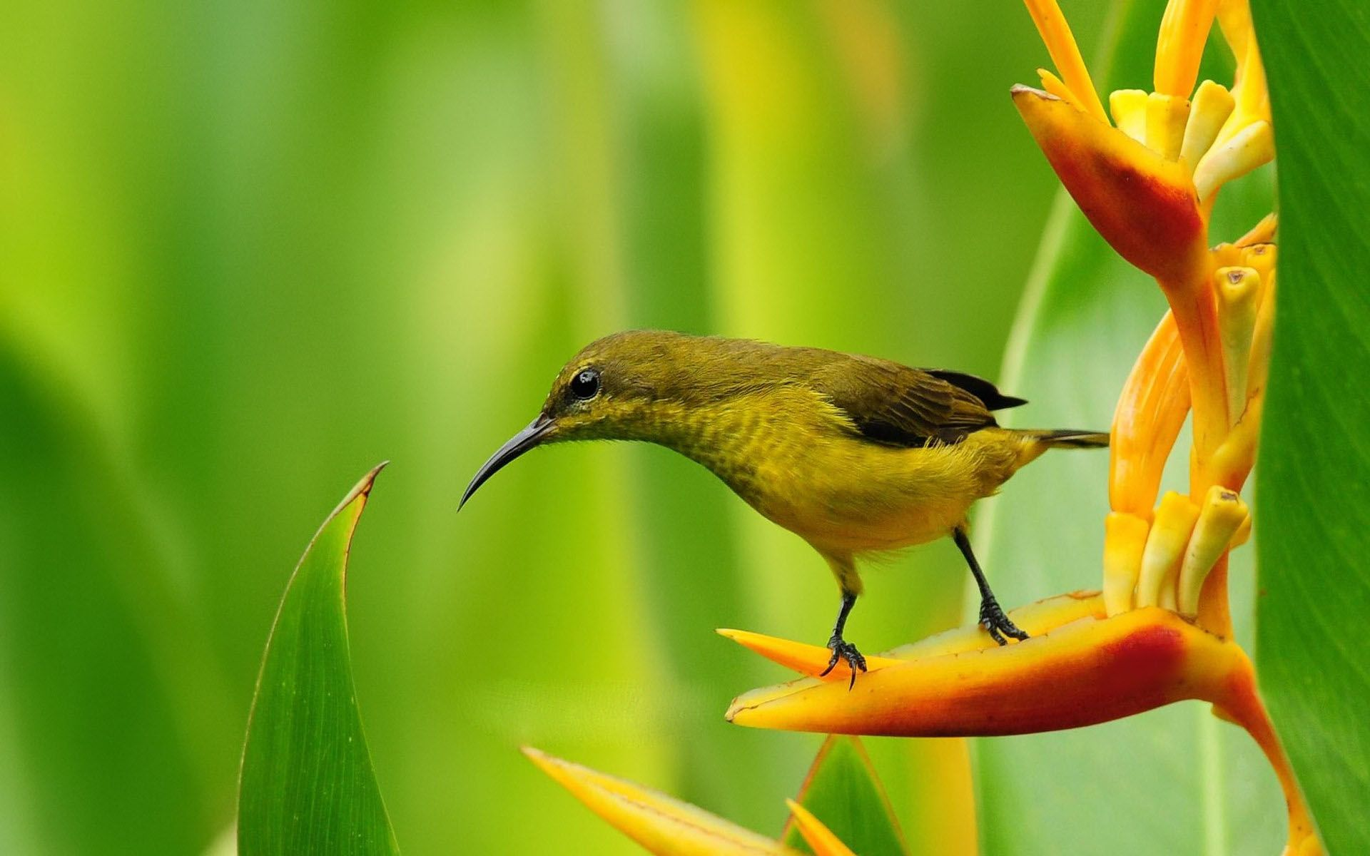 Small bird on bird of paradise flower wallpaper 1920×1200