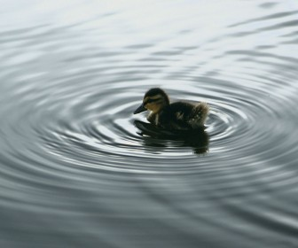 Small Duckling In The Water Wallpaper
