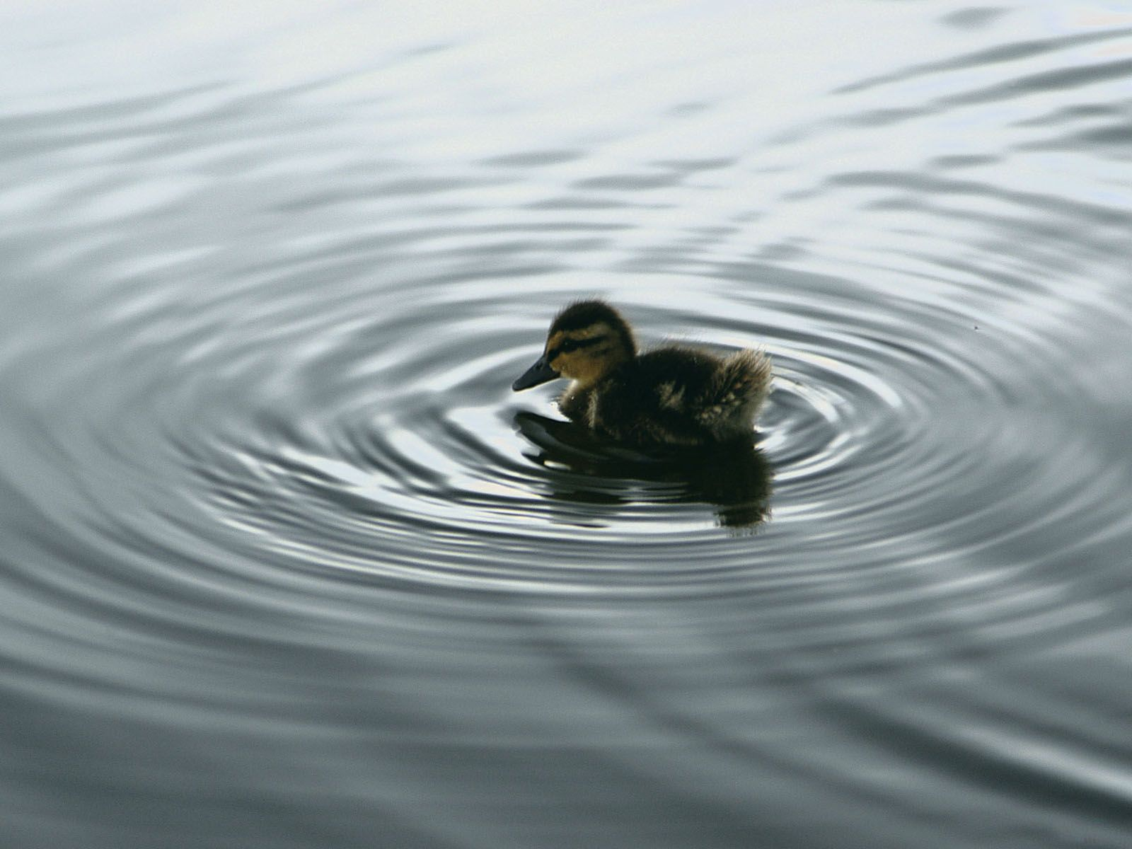 Small Duckling In The Water Wallpaper 1600x1200