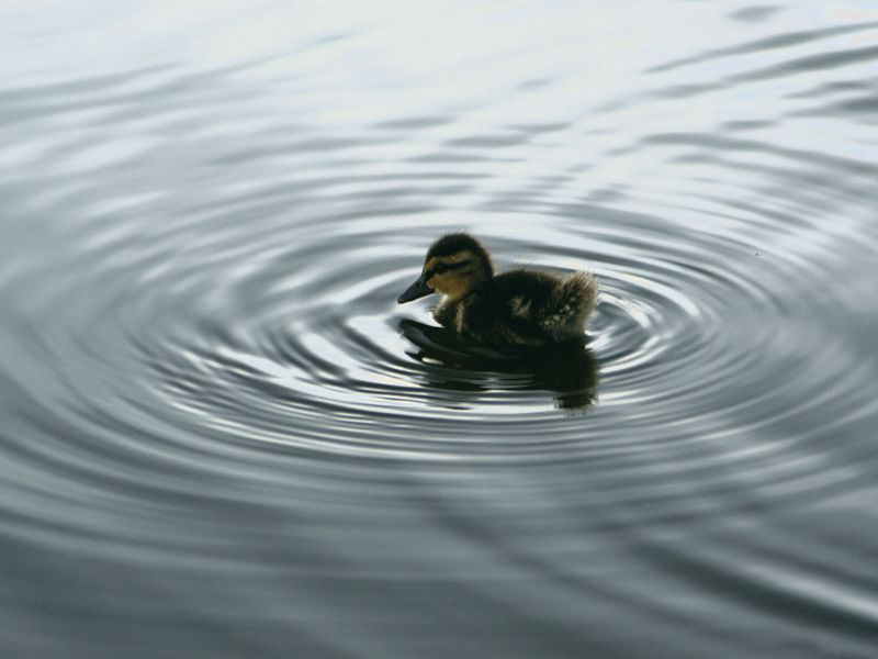 Small Duckling In The Water Wallpaper 800x600