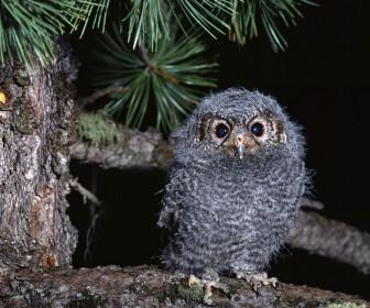 Small Furry Owl Portrait Wallpaper