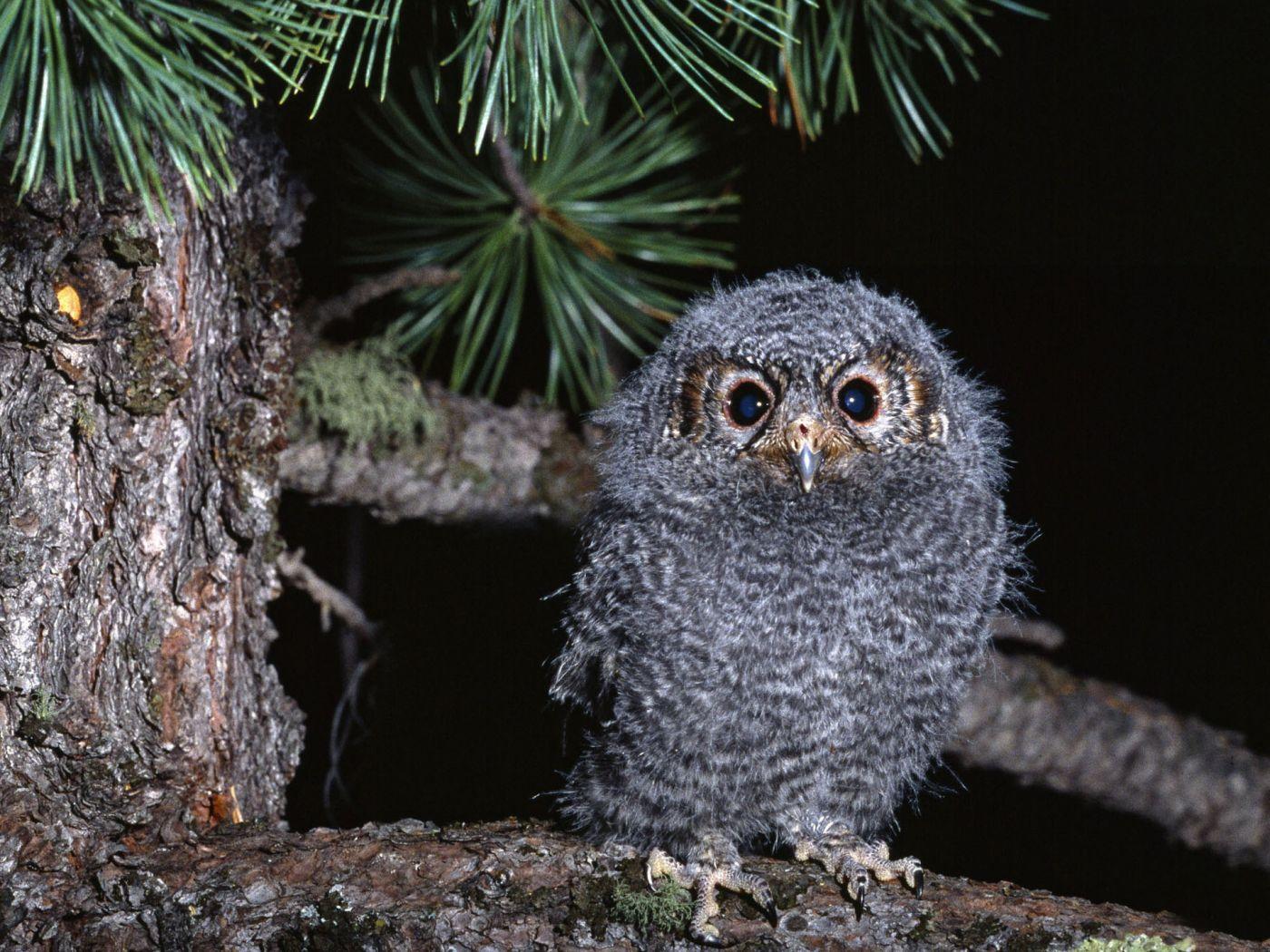 Small Furry Owl Portrait Wallpaper 1400x1050